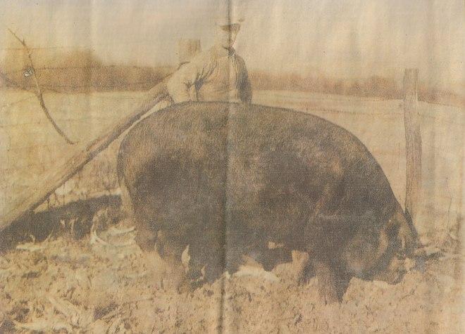 big bill 2550 pound pig martin, tn